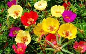 Как вырастить портулак: правильно собрать семена и подготовить почву к посадке