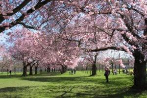 Цветение вишневого парка