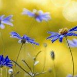 Цветы брахикома: характеристика и сорта, посадка и уход