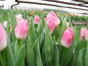 Выращивание тюльпана в больших масштабах