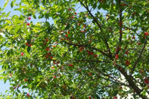 Процесс созревания вишни