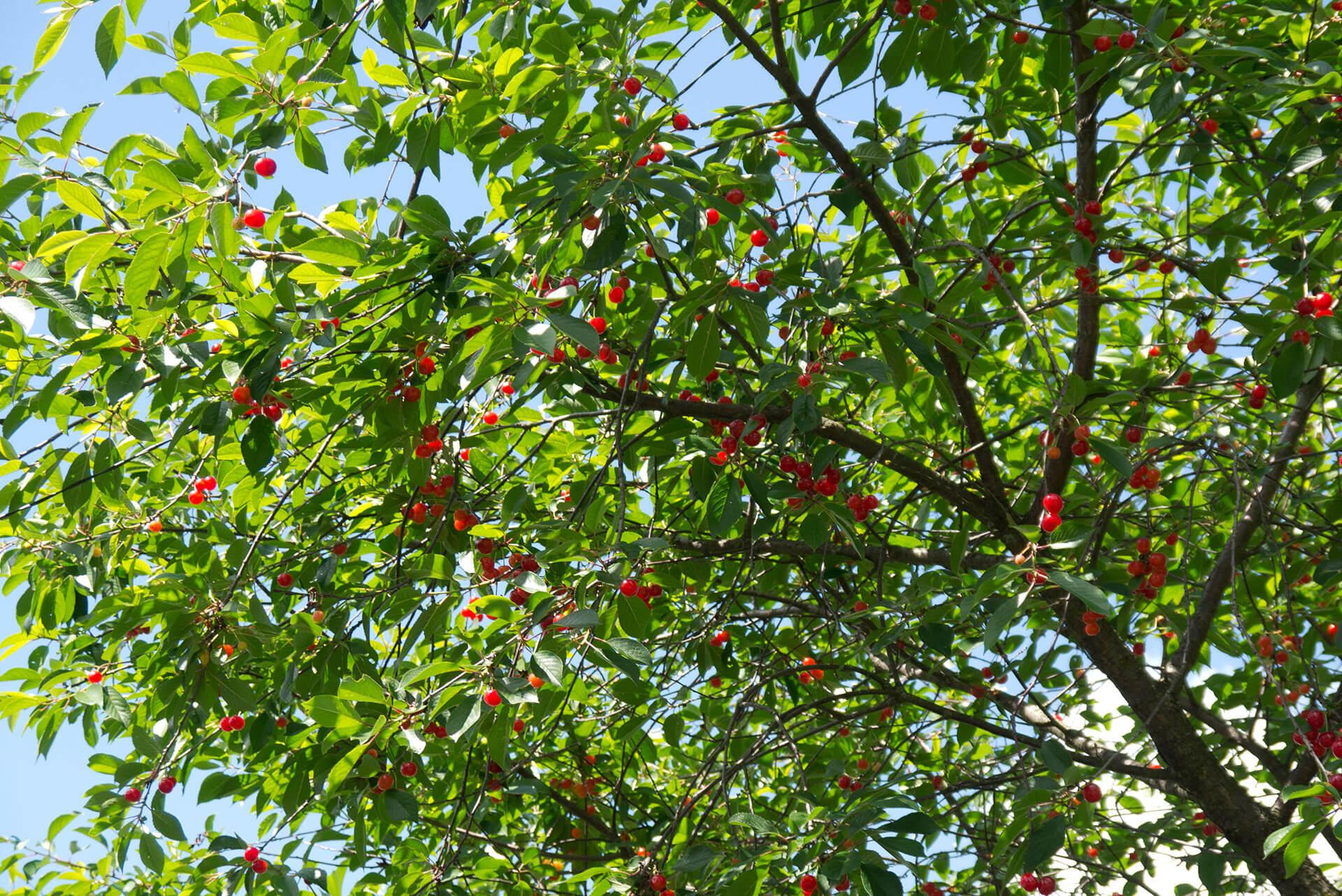 Особенности обрезки вишневого дерева весной и уход за растением