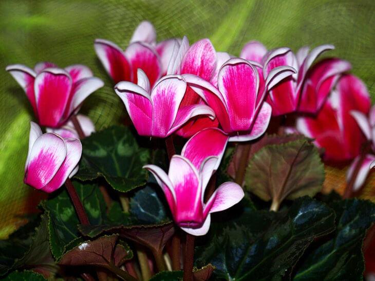 Пышное цветение цикламена в дикой природе