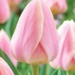 Тюльпан династия: основные особенности этого сорта