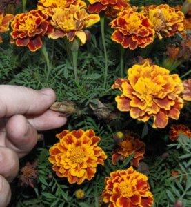 Сбор соцветий шафрана