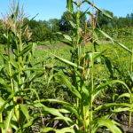 Семена кукурузы «Пионер»: описание сортов и техника выращивания