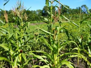 Выращивание кукурузы в поле