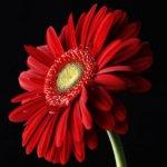Основные особенности выращивания герберы из семян и уход за растением