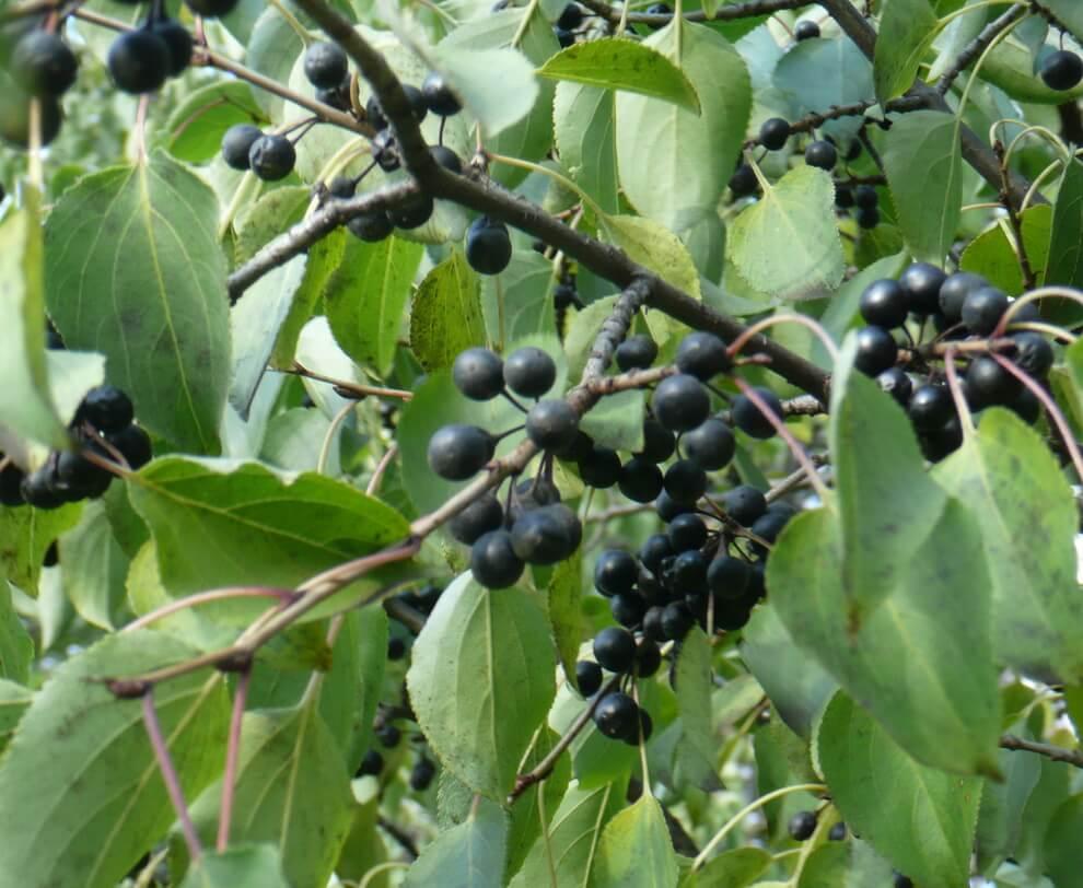 Как вырастить, заготовить и применять лечебные плоды жостера