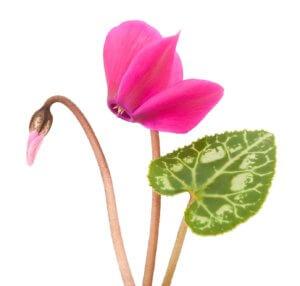 Первое цветение цикламена