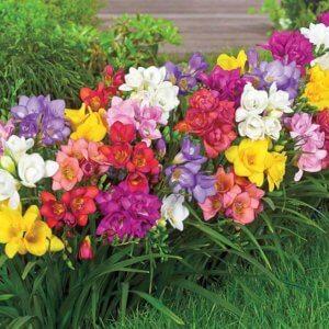 Прекрасная находка для садовода - фрезия