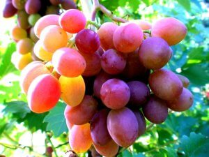 Один из сортов зимостойкого винограда