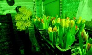 Освещение для тюльпанов в теплице