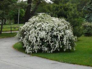 Украшение парка цветущим кустиком