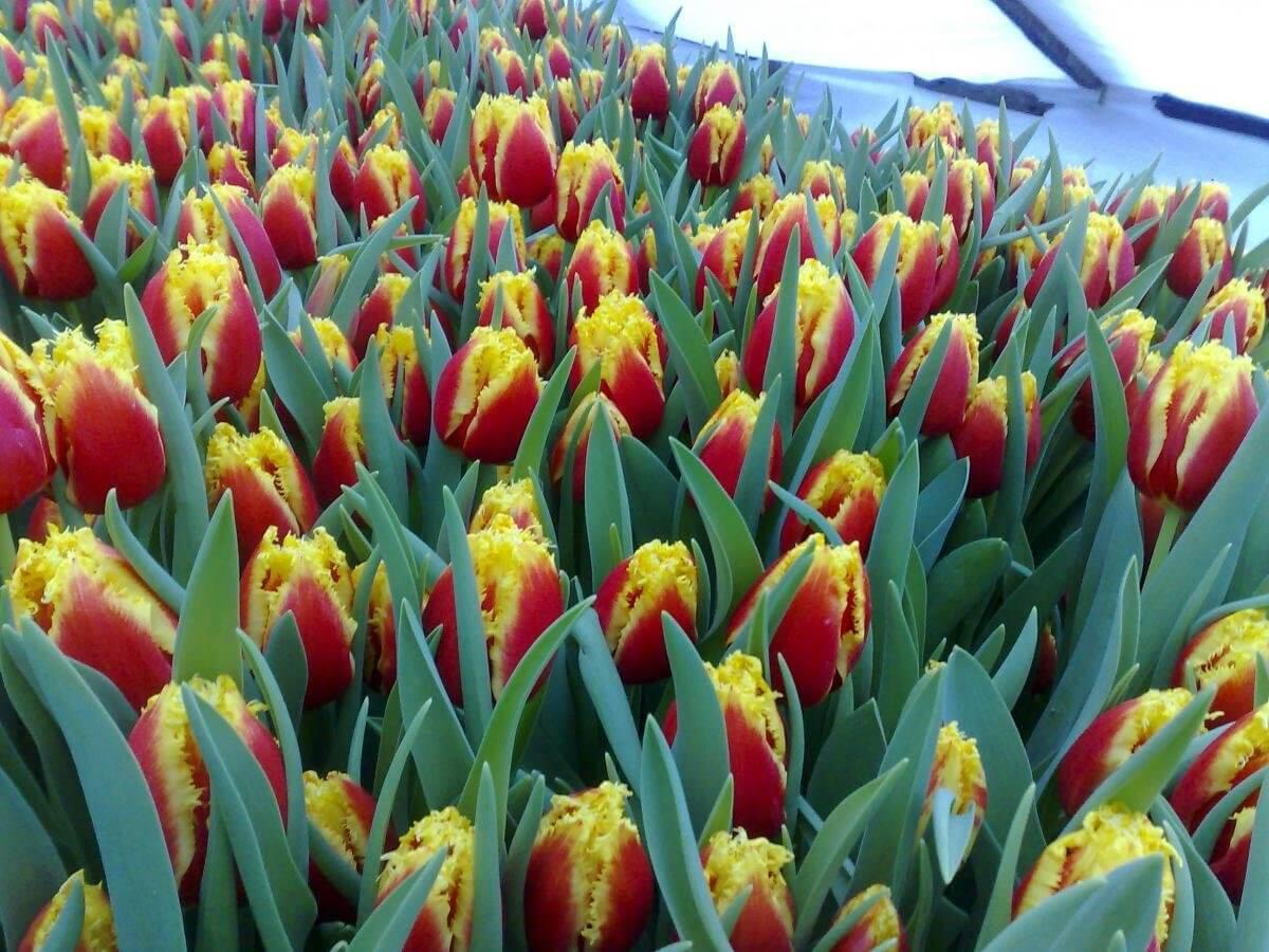 Выращивание тюльпанов в теплице: описание процесса и причины промахов