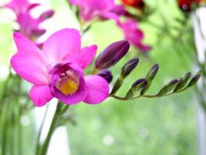 Первое цветение фрезии
