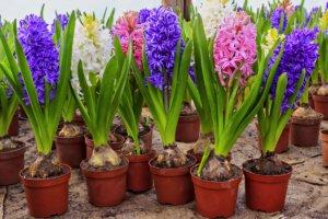 Цветущий гиацинт - отличный подарок для каждого