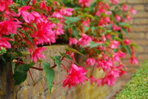 Один из видов цветения садовой бегонии