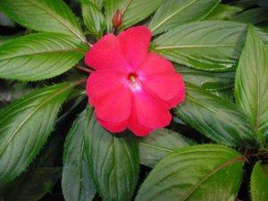 Первые цветочки у бальзамина