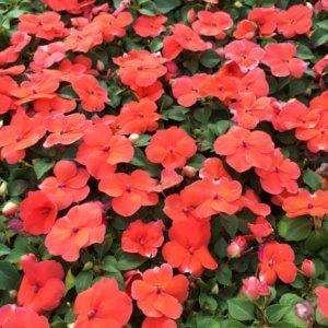 Бальзамин: выращивание из семян и описание особенностей растения
