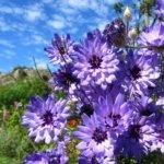 Катананхе голубая в саду: правила посадки, ухода и размножения
