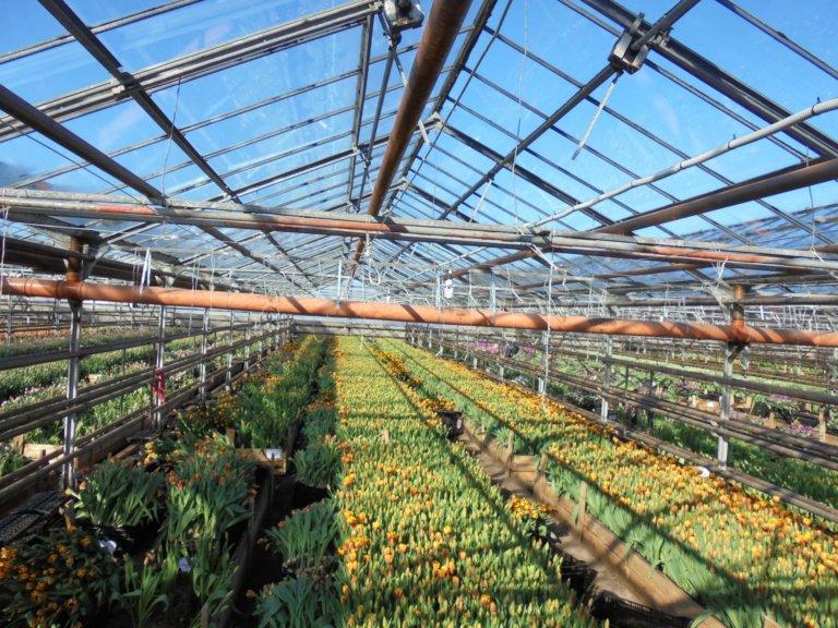 Как выращивают тюльпаны в теплице видео