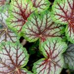 Гейхера из семян: особенности выращивания