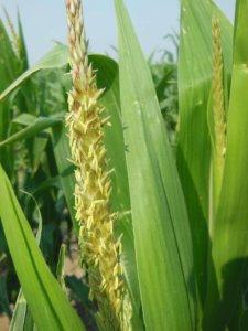 Цветение кукурузы