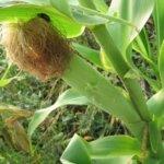 Кукуруза: подготовка к посеву, сроки и норма высева кукурузы