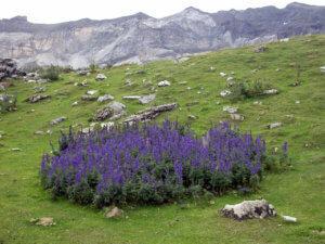 Трава аконит в диких условиях