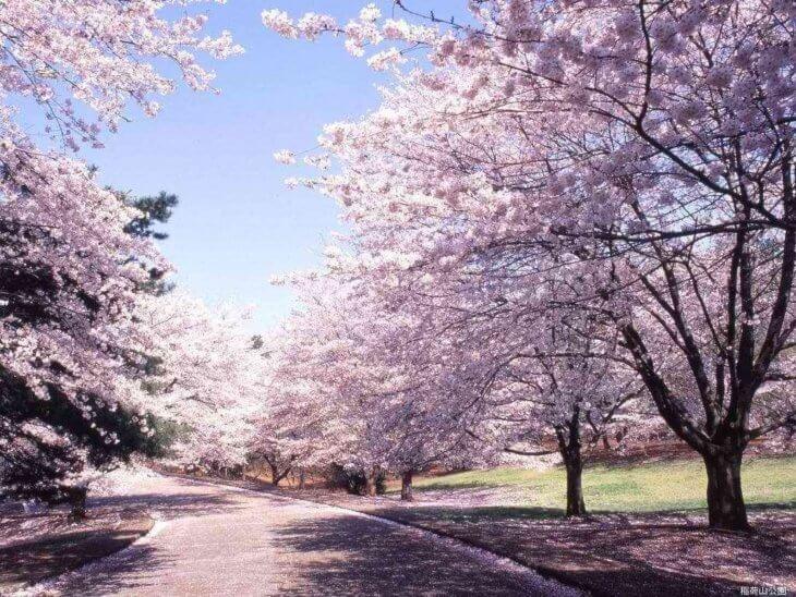 Лат. sakura