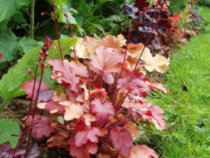 Один из сортов гейхеры для вашего сада