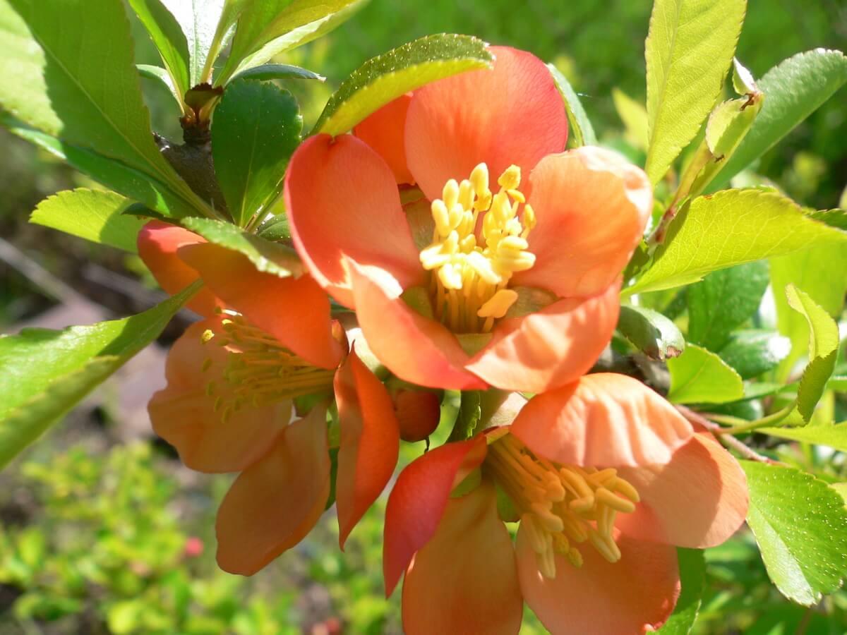 Айва дерево: предпочтения растения и его роль в саду