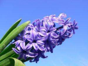 Лат. Hyacinthus