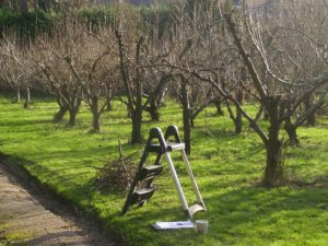 Подготовка к обрезке яблони