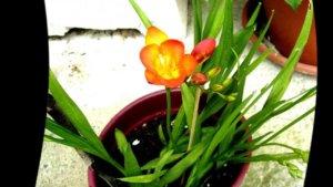 Выращивание фрезии в горшочке