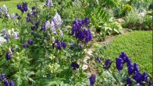 Травой аконит можно украсить садовое пространство