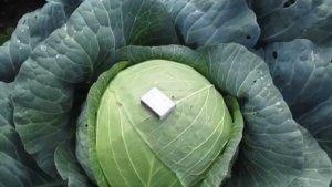 Здоровый кочан капусты
