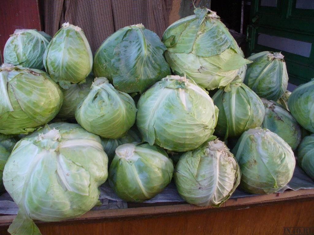 Капуста Амагер: характеристика и нюансы выращивания
