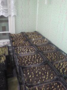 Проращивание луковиц