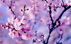 Прекрасные весенние соцветия сакуры