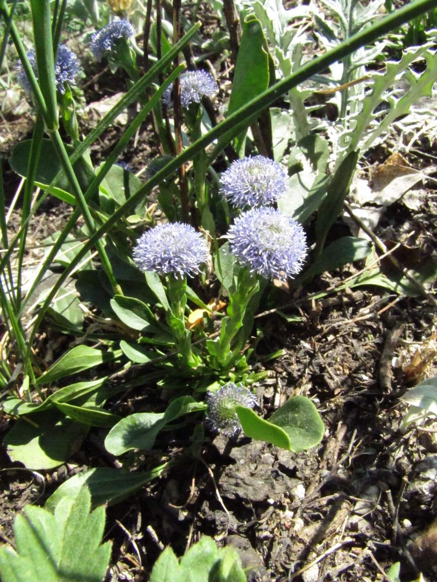 Глобулярия: особенности прекрасного и выносливого растения
