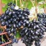 Зимостойкие сорта винограда: преимущества выращивания
