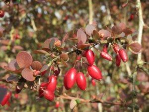 Барбарис Тунберга Дартс Ред Леди: описание растения и его место в саду