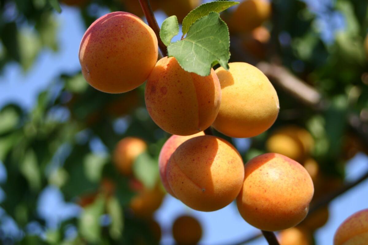 Статья о том, как абрикос не на юге, а в Сибири рос