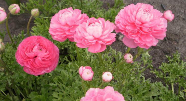Цветение лютиков