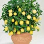 Как добиться цветения лимона: выращиваемого дома