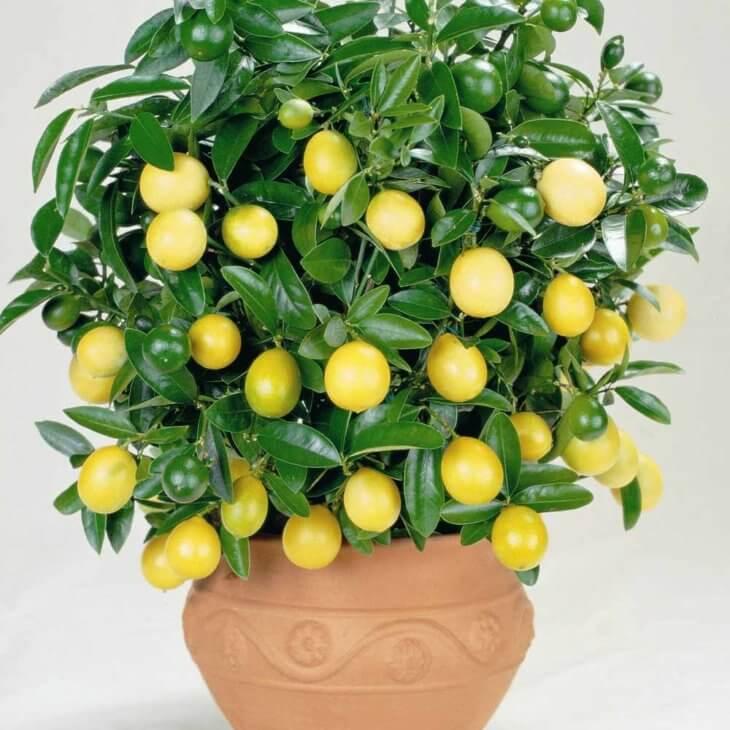 Лимон в горшочке