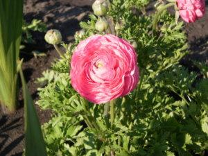 Сажать на даче садовые лютики: занятие доступное всем