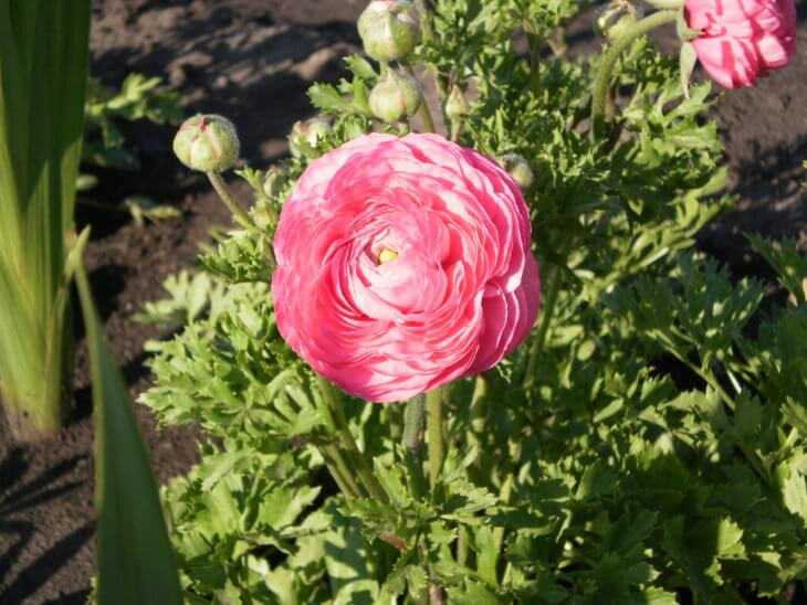 Один из видов цветения лютика